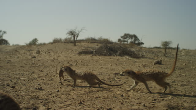 track with meerkat carrying pup in its mouth across sand - carrying stock videos & royalty-free footage