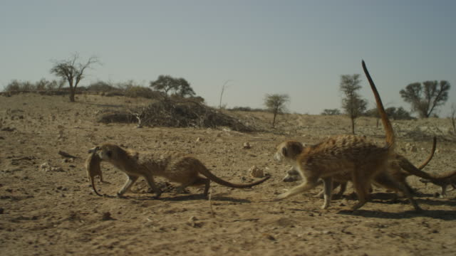 track with meerkat carrying pup in its mouth across vehicle tracks - carrying stock videos & royalty-free footage