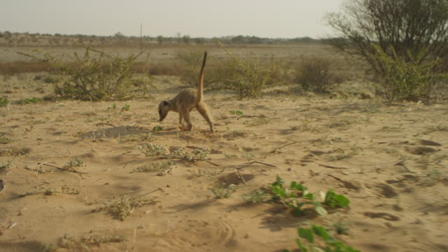 track with meerkat foraging amongst bushes - foraging stock videos & royalty-free footage