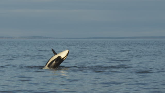 track with orca breaching in open sea with coastline in distance - killer whale stock videos and b-roll footage