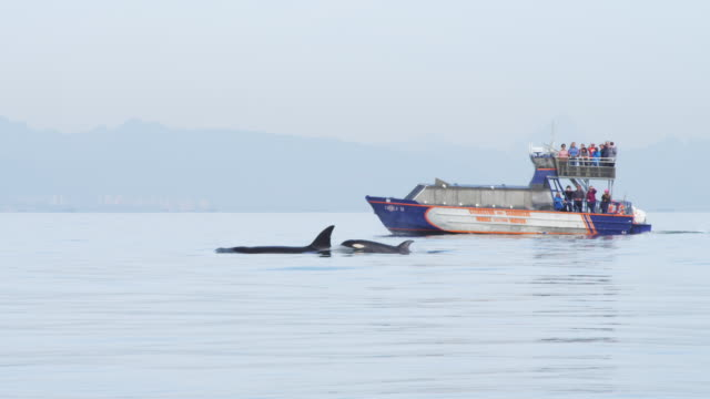 track with orca group including juvenile surfacing close to whalewatching boat in background - 水生生物 個影片檔及 b 捲影像