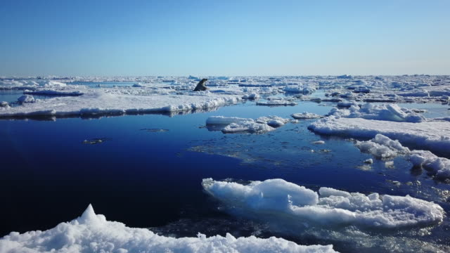 track with polar bear swimming amongst ice floes then climbing out to sniff the air - arktis stock-videos und b-roll-filmmaterial