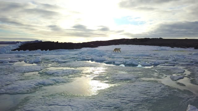 ws track with polar bear walking over ice towards rocks - 40 seconds or greater stock videos & royalty-free footage
