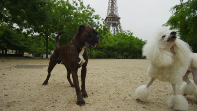 vídeos de stock, filmes e b-roll de track with poodle and boxer dog playing with eiffel tower in background - três animais