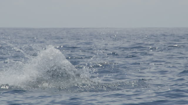 Track with MS Spinner dolphin as it leaps and nosedives in profile