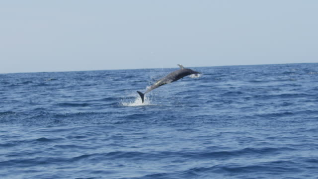 slomo track with spinner dolphin as it leaps and spins twice with large remora attached to its body  - sugfisk bildbanksvideor och videomaterial från bakom kulisserna
