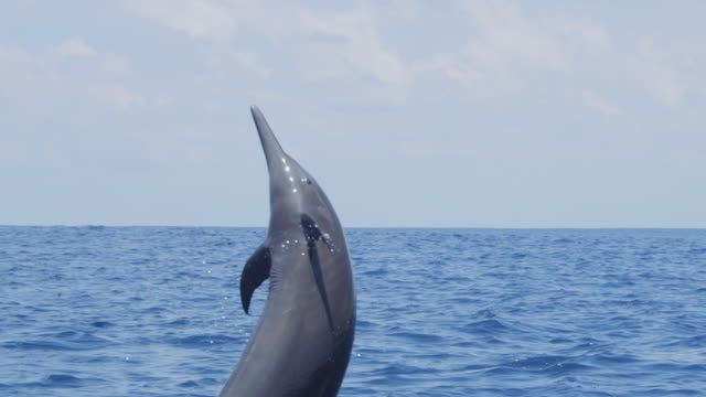 vidéos et rushes de track cu with spinner dolphin as it leaps the drops back into sea - dauphin