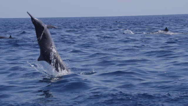 track with ms spinner dolphin as it leaps twice and and spins in profile - spinner dolphin stock videos & royalty-free footage