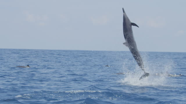 stockvideo's en b-roll-footage met track with spinner dolphin as it leaps very high and does 3 spins in profile - hoog