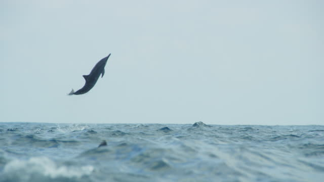 Track with Spinner dolphin as it leaps very high and does 4 spins in profile