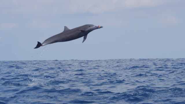 ms track with spinner dolphin leaping 3 times with seaweed in its mouth - spotted dolphin stock videos and b-roll footage