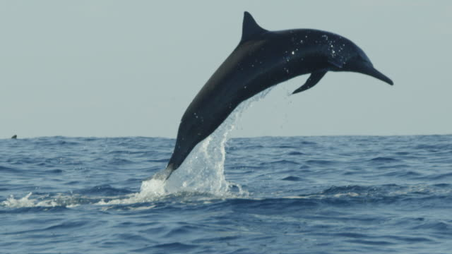 slomo ms track with spinner dolphin leaping close to camera - dolphin stock videos & royalty-free footage