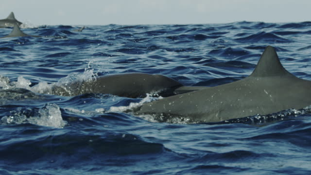 slomo track with spinner dolphin superpod with dolphin spinning at end - dolphin stock videos & royalty-free footage
