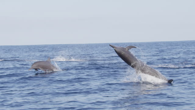 stockvideo's en b-roll-footage met slomo track with spinner dolphin superpod with dolphins spinning in foreground - zeedieren