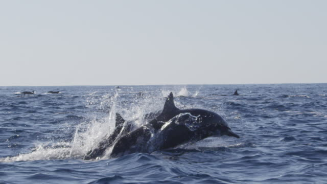 slomo track with spinner dolphin superpod with dolphins surfacing in foreground - delfino video stock e b–roll
