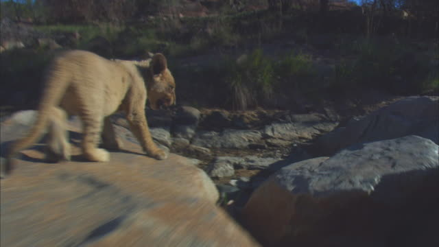 vidéos et rushes de cu track with very young african lion cub walking over rocky outcrop  - outcrop