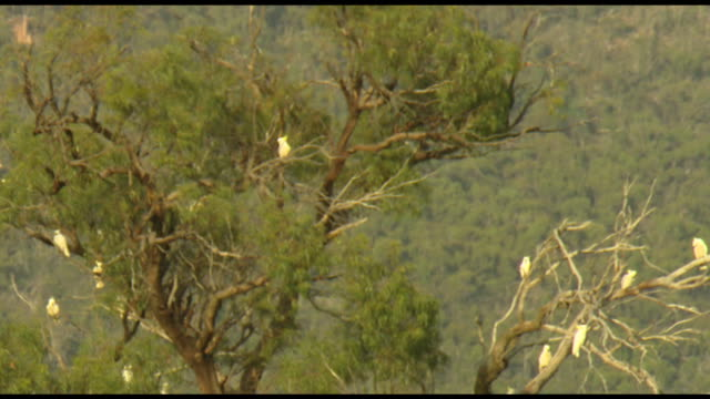 tracking a flying sulphur-crested cockatoo across a cloudy-blue sky / wide shot cockatoos in a tree - natsot of cockatoo screeching - birdsong stock videos & royalty-free footage