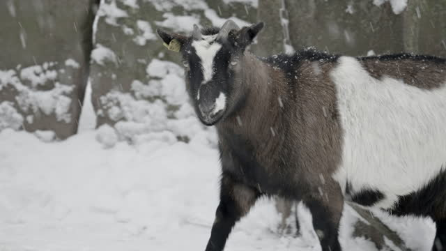 tracking a goat walking outside a barn as snow falls all around, with a winter white background - erfurt, germany - real time stock-videos und b-roll-filmmaterial