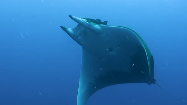 Tracking a mobula, or devil, ray as it swims over the camera at the Princess Alice Sea Mount, The Azores, Portugal.