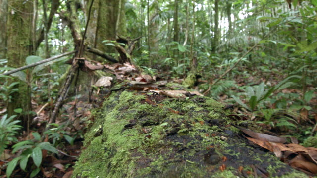 tracking along a fallen tree trunk in amazonian rainforest in ecuador with army ants. - fallen tree stock videos and b-roll footage