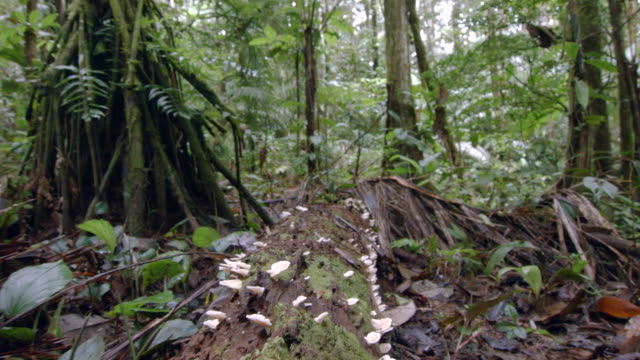 tracking along a fungus covered rotting log on the floor of amazonian rainforest in ecuador - fungus stock videos & royalty-free footage