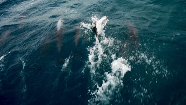 tracking and panning a pod of dolphins as they quickly swim and jump near the ocean surface, with bright sunlight reflected off the choppy sea - cape york, australia - wal oder delfingruppe stock-videos und b-roll-filmmaterial