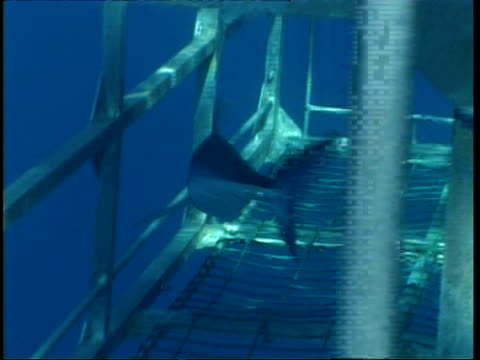 MS Tracking baby Mako Shark swimming through shark cage, Mexico