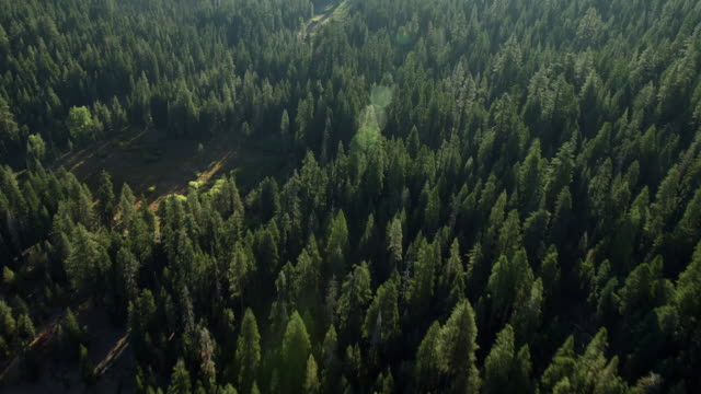 vidéos et rushes de tracking back over lush green evergreen forest. - développement durable