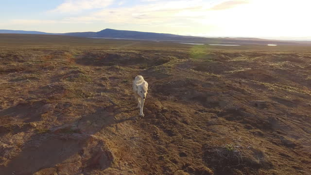 vídeos de stock, filmes e b-roll de ha ws tracking back with arctic wolf as it walks to camera - espreitando