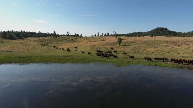 drone tracking cows over water beautiful reflection - 4k drone tracking aerial view wildlife herd hunting, deer, elk, bison, hawk, buck, cows, bird, buffalo, directors choice, editors choice, magic hour, sun flare, grassland, epic - bird hunting stock videos & royalty-free footage
