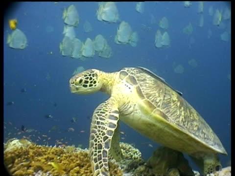vídeos y material grabado en eventos de stock de ms tracking forward to cu green turtle resting on coral reef, track right, divers in background, sipadan, borneo, malaysia - patrones de colores