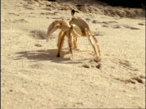 mcu tracking ghost crab (ocypode) walking across sand, bermuda - krabbe stock-videos und b-roll-filmmaterial