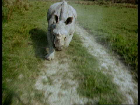 MS Tracking Greater One-horned Rhinoceros charging along track to camera, India