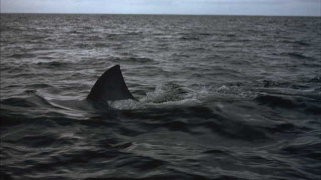 tracking left of a shark fin surfacing above the waves. - rückenflosse stock-videos und b-roll-filmmaterial