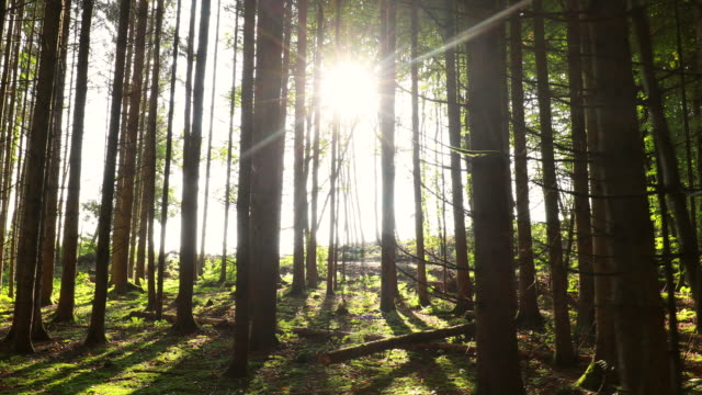 POV tracking left, sun shining through trees in forest
