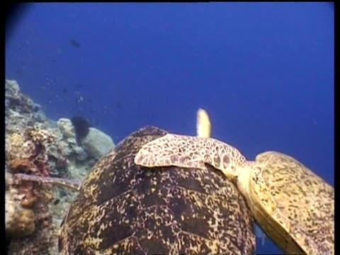 mcu tracking mating pair of green turtles, many other males follow and bite mating male, borneo - pair stock videos and b-roll footage