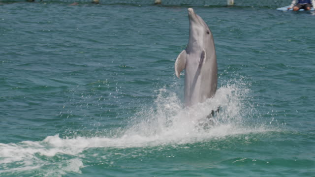 tracking medium shot of dolphin performing at water show / roatan, honduras, central america,  - stunt stock videos & royalty-free footage