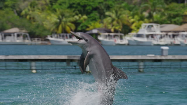 tracking medium shot of dolphin performing at water show / roatan, honduras, central america,  - dolphin stock videos & royalty-free footage