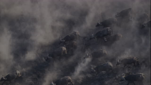 vídeos de stock e filmes b-roll de tracking over a herd of cape buffalo moving across a dusty plain. available in hd. - búfalo africano
