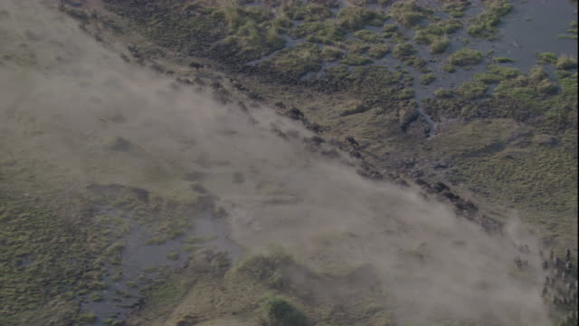 Tracking over a herd of cape buffalo moving across a dusty plain. Available in HD.