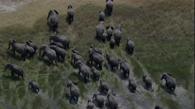 vídeos de stock, filmes e b-roll de tracking over a large elephant herd wading through a marsh. available in hd. - elefante