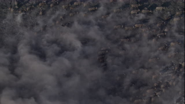Tracking over a large herd of cape buffalo moving across a dusty plain. Available in HD.