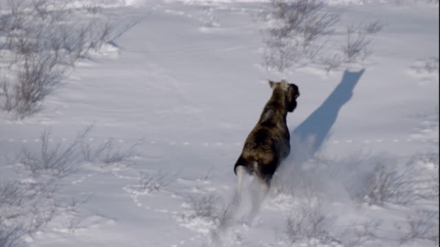 tracking over a moose bounding through deep snow. available in hd. - taiga stock videos and b-roll footage