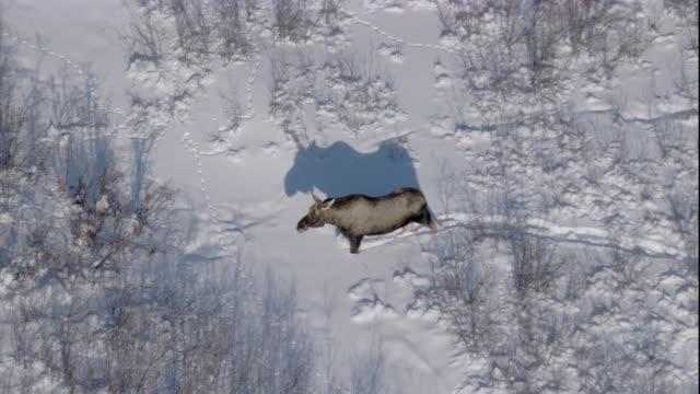 tracking over a moose in deep snow. available in hd. - taiga stock videos and b-roll footage