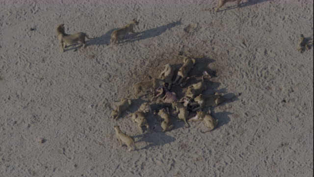 tracking over a pride of lions at a kill, botswana. available in hd. - dead animal stock videos & royalty-free footage