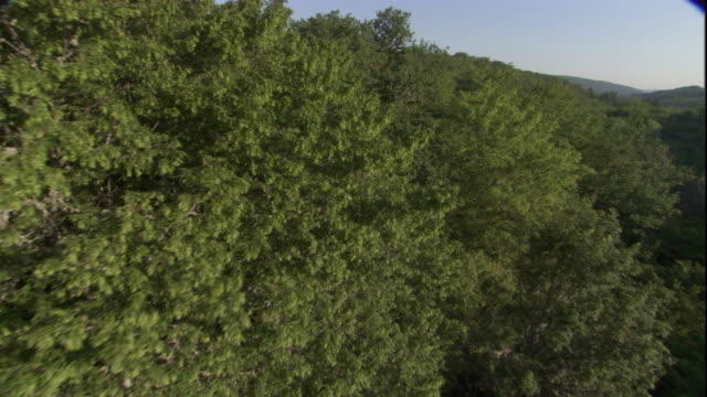 tracking over the dense canopy of a deciduous forest. available in hd. - deciduous stock videos & royalty-free footage