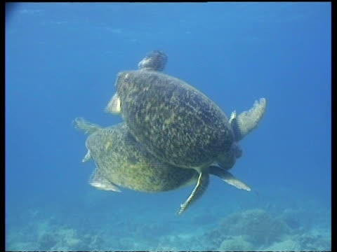MS tracking pair of Green turtles during courtship, Female reluctant, male determined, Borneo