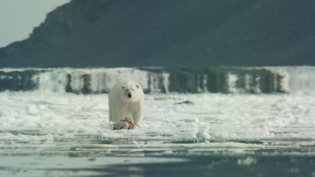 ws tracking past polar bear looking at camera then eating seal carcase with heat shimmer - スヴァールバル諸島およびヤンマイエン島点の映像素材/bロール