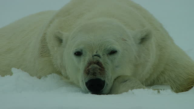 vídeos de stock, filmes e b-roll de tracking cu polar bear sleeping on ice floe then rouses and sniffs the air - forma da água
