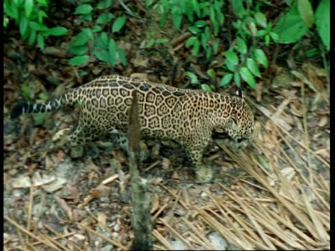vídeos y material grabado en eventos de stock de ms tracking right, high angle jaguar walking through undergrowth, south america - patrones de colores